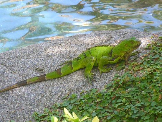 Aruba Marriott Resort & Stellaris Casino: One of many iguanas roaming the property