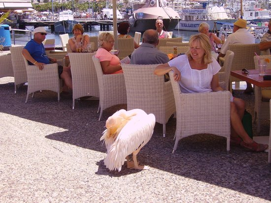 Kissos Hotel: Friendly pelican at the harbour