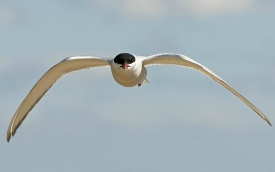 Baltasound Hotel: Attacking arctic tern