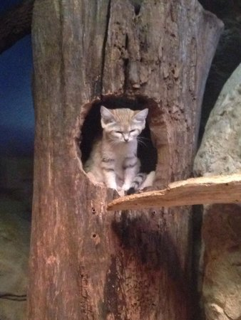 Sand cat @ the Lincoln park zoo