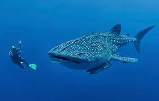 Holbox Whale Shark Tours with Willy's Tours: tours al tiburon ballena, excelente experiencia