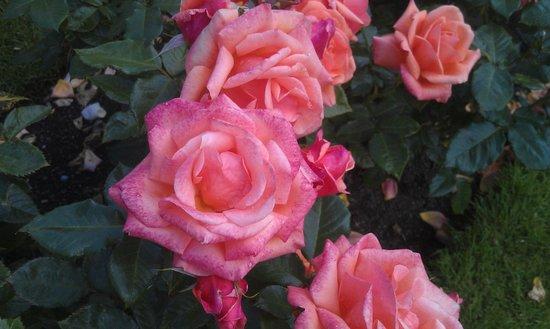 National Botanic Gardens : Summer rose