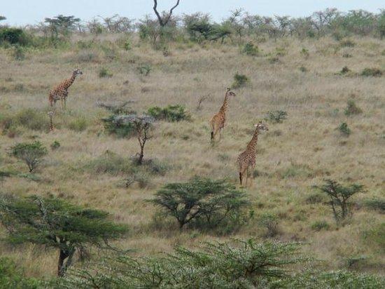 Parc national de Nairobi : Giraffes on the run