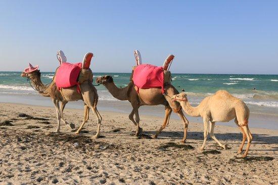 SENTIDO Djerba Beach: Les chameaux sur la plage