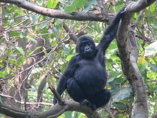 République démocratique du Congo : Gorilla rehabilitation