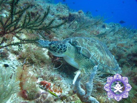 NIrvana Dive shop: green turtle