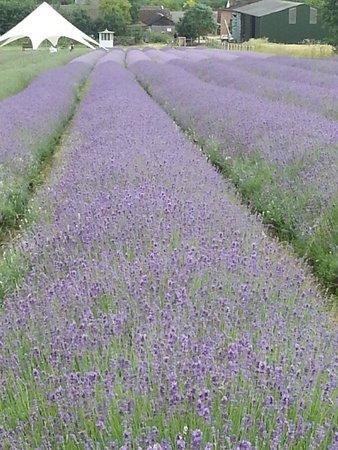 Hitchin Lavender: 1