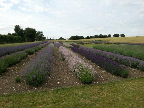 Hitchin Lavender: 2