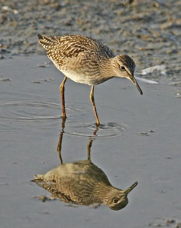 Wood sandpiper, RSPB Titchwell Marsh, July 2014
