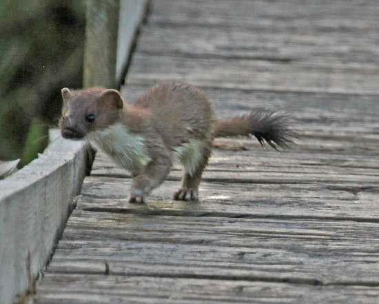 Stoat,RSPB Titchwell Marsh, July 2014