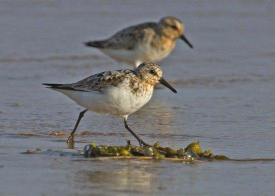 Sanderling,RSPB Titchwell Marsh, July 2014