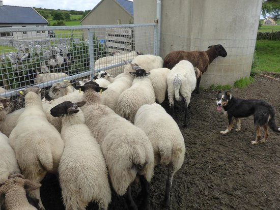 Caherconnell Stone Fort: The different types of sheep at Caherconnell