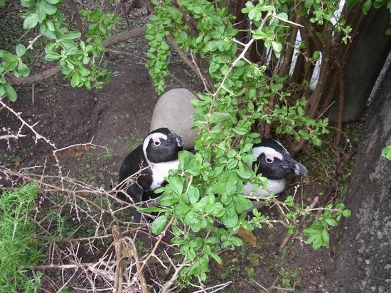 Boulders Beach: ペンギン
