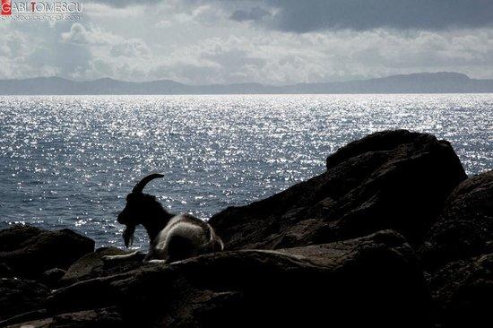 Carsaig Arches: feral goats