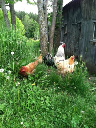 Vermont Grand View Farm and Bed & Breakfast : The Resident Chickens
