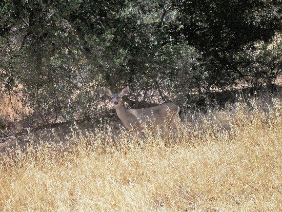 Mount Diablo State Park: Deer Encounter
