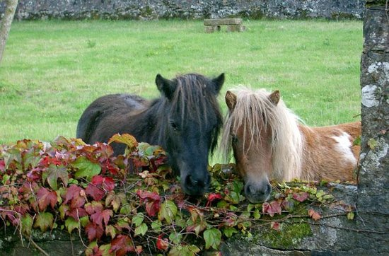 Oatfield Country House B&B: Islay and Cara, our two Shetland Ponies