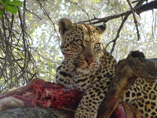 MalaMala Main Camp : Leopard in Tree with Kill