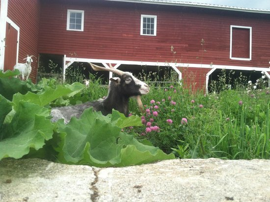 Inn at Valley Farms : Those funny goats!