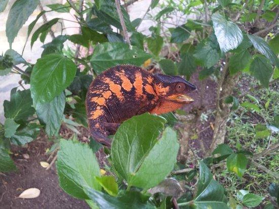Nosy Komba Plongee: I camaleonti nel giardino davanti alla camera