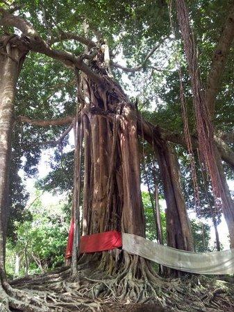 Nosy Komba Plongee : L'albero sacro