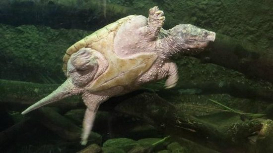 Palm Beach Zoo & Conservation Society : alligator snapping turtle
