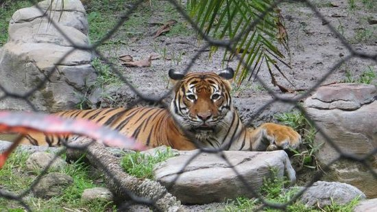 Palm Beach Zoo & Conservation Society: Tiger