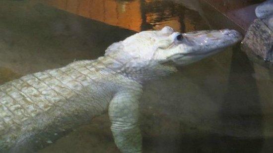 Palm Beach Zoo & Conservation Society : Albino Alligator