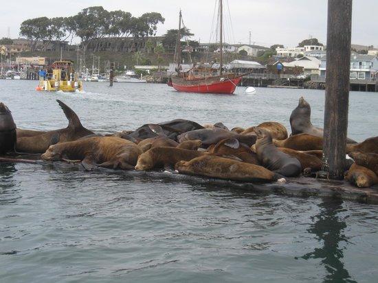 Comfort Inn Morro Bay: Harbor seals a-plenty