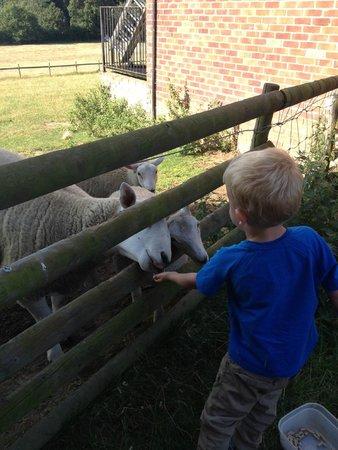Bucks Farm Holiday Cottages: Feeding the sheep