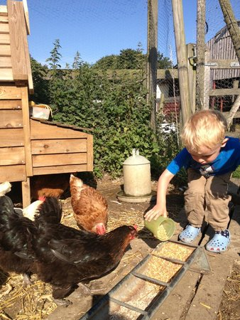 Bucks Farm Holiday Cottages: Feeding the chickens