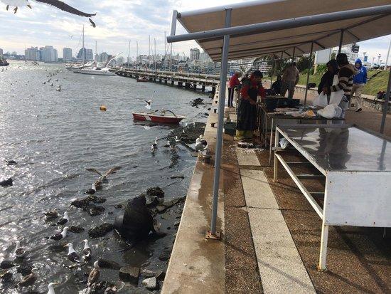 Puerto de Punta del Este: O leão marinho fica aguardando a sobra do peixe