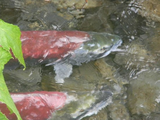 Trail Lake Lodge: salmon swimming upstream to spawn