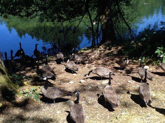 Northwest Trek Wildlife Park: Canada geese