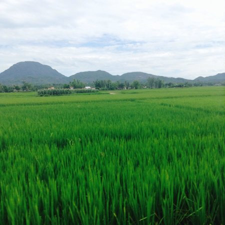 Hoi An Motorbike Adventures: Riding past spectacular rice fields and mountains before harvest time