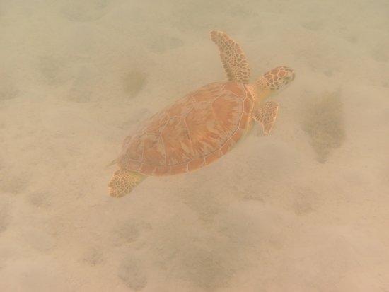 Maho Beach: turtle
