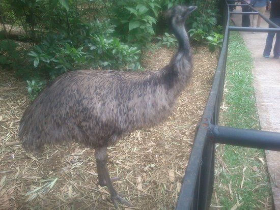 Zoo Ave: Emus