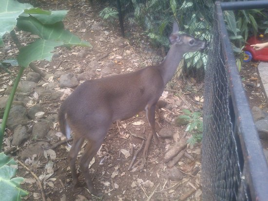 Alajuela, Κόστα Ρίκα: Venado