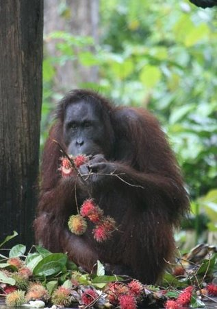 Orang Utan Sanctuary: wet day did not deter eating opportunity!