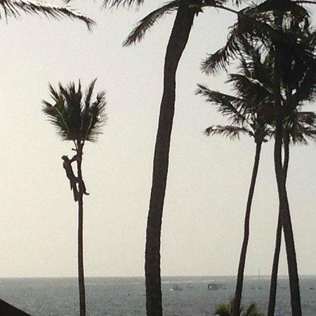 Secrets Royal Beach Punta Cana: Man Climbing Tall Palm Tree