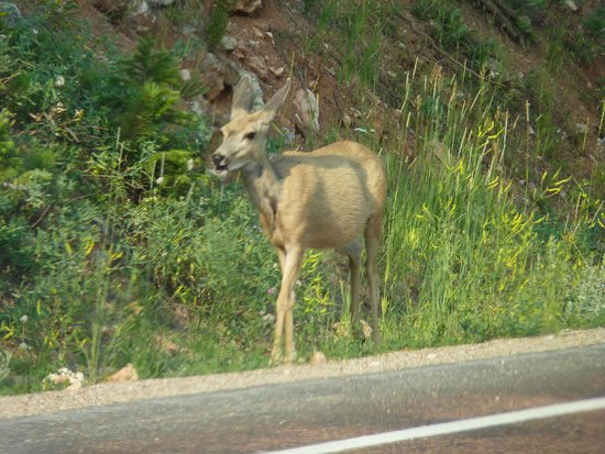 Bighorn National Forest: mule deer along hwy 14A