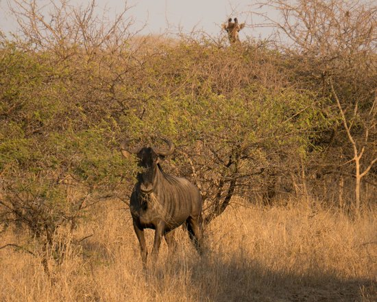 Zulu Nyala Game Lodge: Giraff photo bombs a wildebeest
