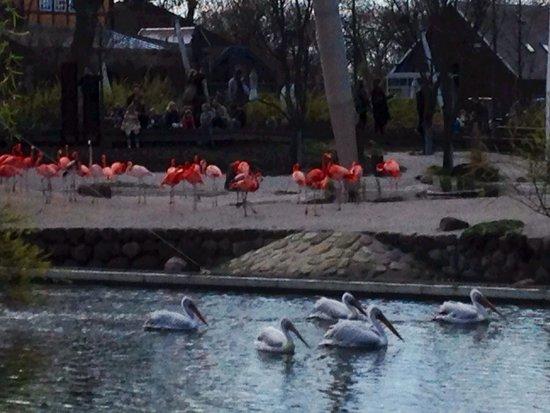 Copenhagen Zoo: Flamingos e pelicanos no zoo de Copenhage