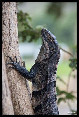 Hotel Riu Guanacaste: Black Iguana