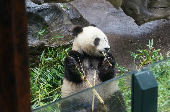 San Diego Zoo: the baby panda