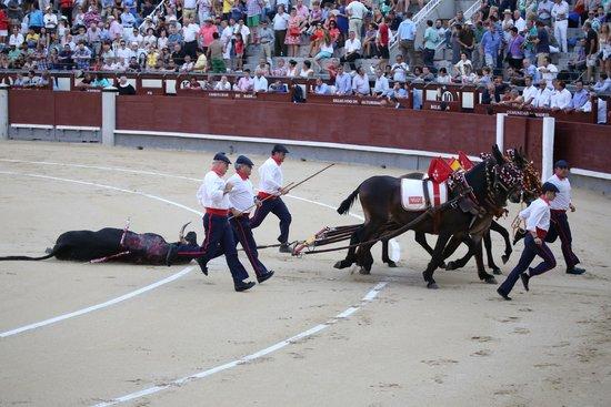 Plaza de Toros las Ventas: Dragging the bull after it is killed