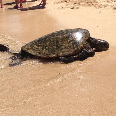 Laniakea Beach: Sea Turtle