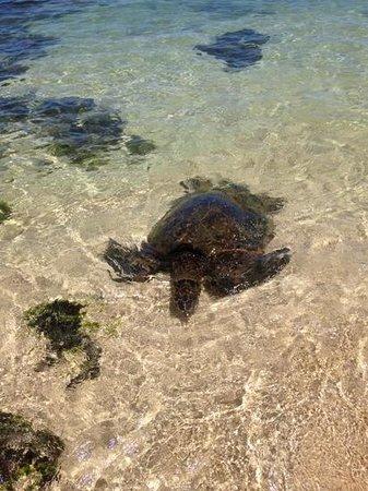 Laniakea Beach: Sea Turtle