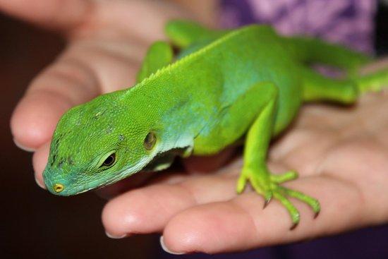 Kula Wild Adventure Park: Handling an Iguana