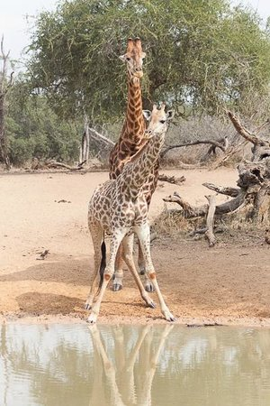 Mkuze Tented Camp : At Mantuma hide - courting couple of giraffe